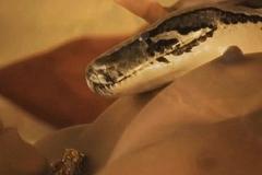 Sacred Snake Reptile Rising Mummy
